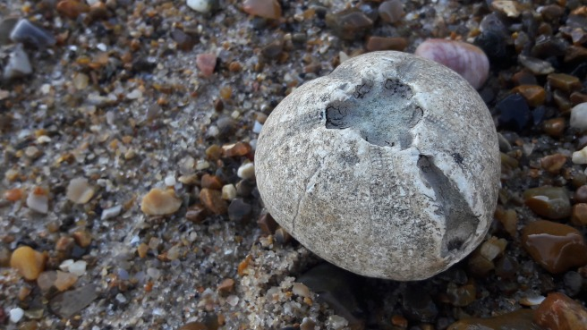Fossilised sea urchin, or echinoid found on the Thames foreshore, London